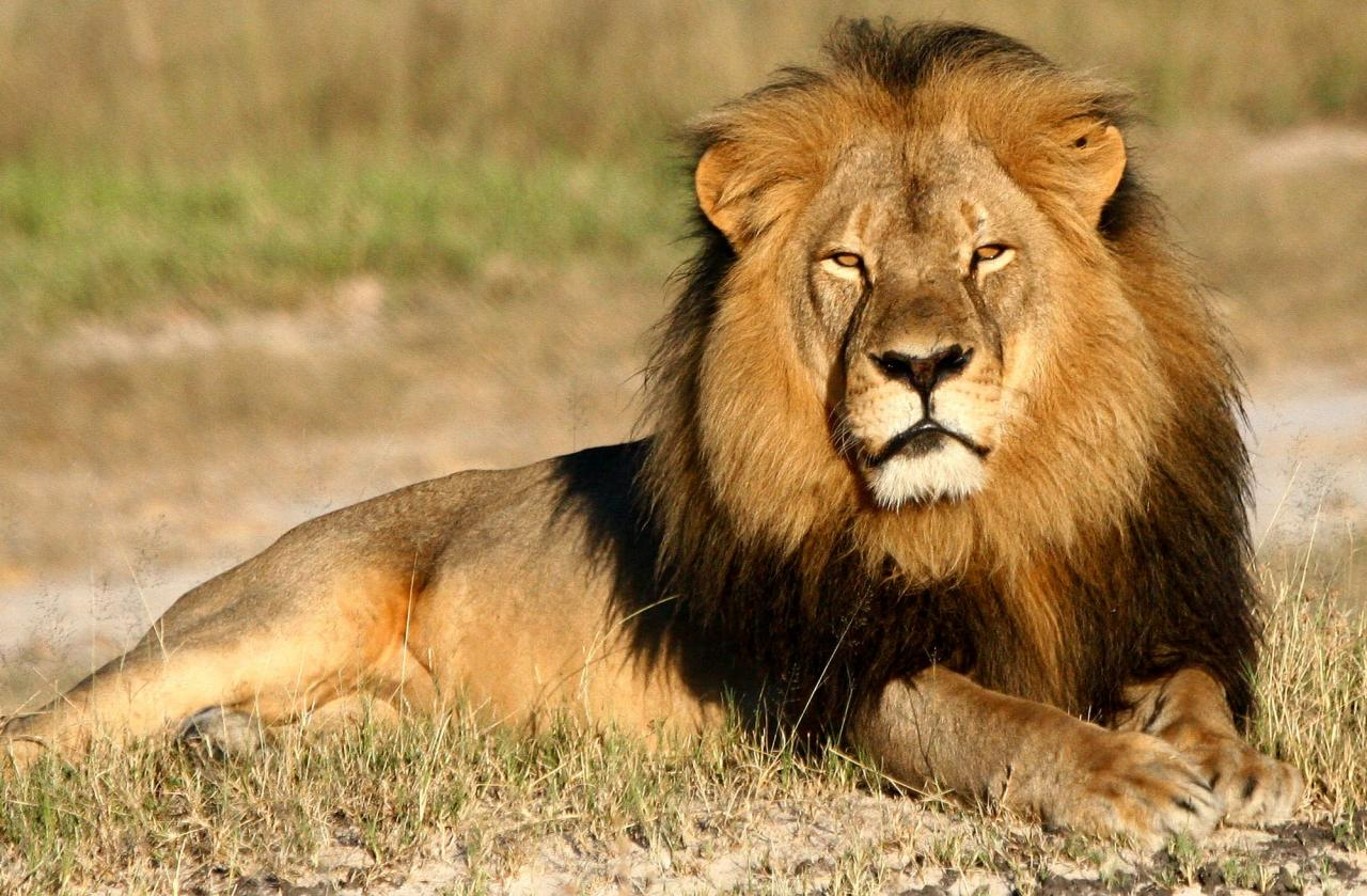 Zimbabwe's Beloved Lion Cecil Killed By Hunter