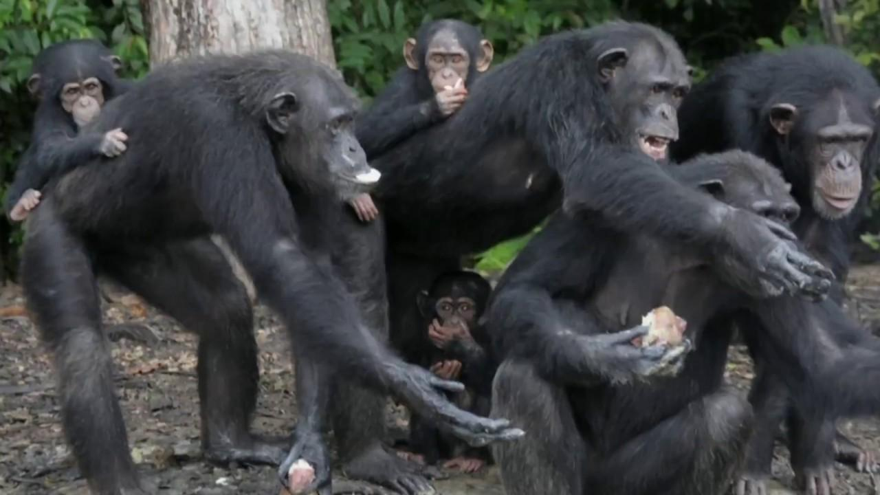 Chimps Abandoned In Liberia After Decades Of Experiments
