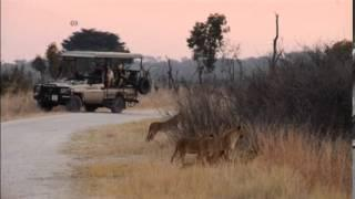 Cecil Cubs Alive And Well In Hwange National Park
