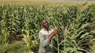 Zimbabwe Turns To Resettled Black Farmers For Revenue