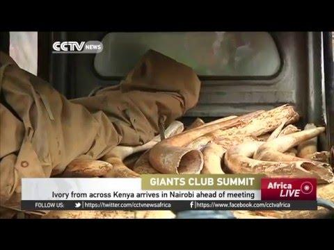Ivory From Across Kenya Arrives In Nairobi Ahead Of The Giant Clubs Summit