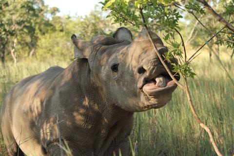 Zimbabwe Rhino Ntombi
