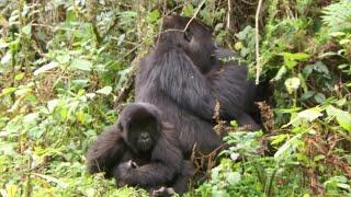 Rwanda National Park Sees Gorilla Baby Boom