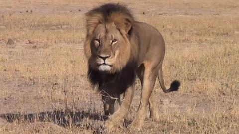2014 footage of Cecil, Africa's biggest lion