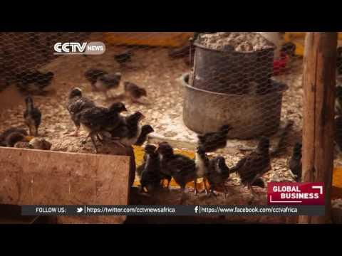 Ugandans Cash In On Growing Poultry Market