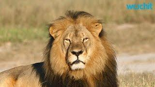 Cecil the lion: Zimbabwe Alleges Second American Illegally Hunted Lion