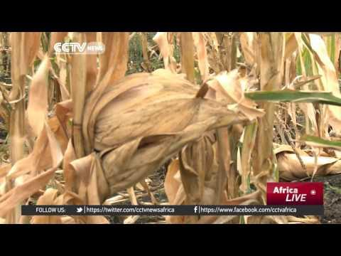2,000 Zimbabwean Farmers To Recieve State Assistance To Grow Staple Crop