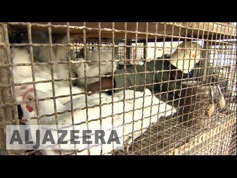 Zimbabwe Efforts To Contain Bird Flu Outbreak