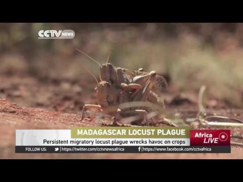 Madagascar Migratory Locust Plague Wrecks Havoc On Crops
