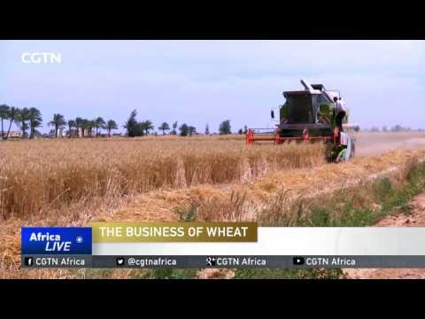 Business Of Wheat In Egypt